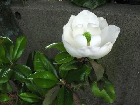 IMG_5995白い花2 480.jpg